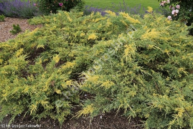 jałowiec Pfitzera 'Blue and Gold' - Juniperus ×pfitzeriana 'Blue and Gold'