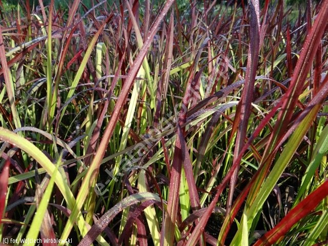 imperata cylindryczna 'Red Baron' - Imperata cylindrica 'Red Baron'