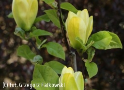 magnolia brooklińska 'Yellow Bird' - Magnolia ×brooklynensis 'Yellow Bird'
