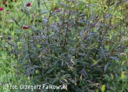 aster bocznolistny 'Lady in Black' - Aster lateriflorus 'Lady in Black'