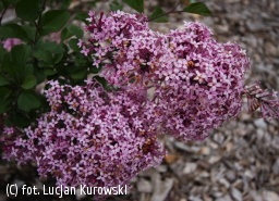 lilak 'Red Pixie' - Syringa 'Red Pixie'
