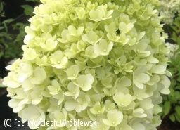 hortensja bukietowa MAGICAL MOONLIGHT 'Kolmagimo' - Hydrangea paniculata MAGICAL MOONLIGHT 'Kolmagimo' PBR