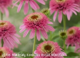 jeżówka 'Butterfly Kisses' - Echinacea 'Butterfly Kisses' PBR