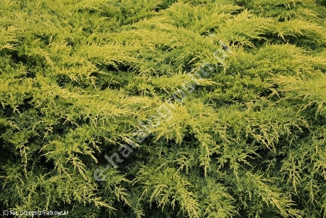 jałowiec Pfitzera 'Gold Star' - Juniperus ×pfitzeriana 'Gold Star'
