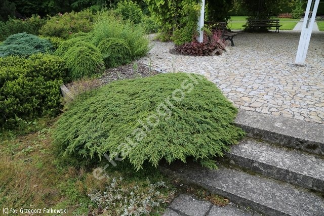 jałowiec pospolity 'Green Carpet' - Juniperus communis 'Green Carpet'
