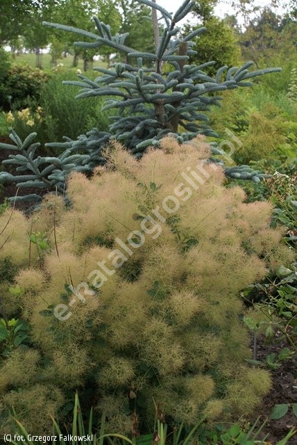 perukowiec podolski 'Young Lady' - Cotinus coggygria 'Young Lady' PBR