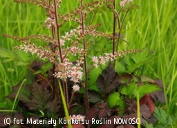 tawułka COLOR FLASH 'Beauty of Ernst' - Astilbe COLOR FLASH 'Beauty of Ernst'