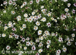 aster 'Apollo' - Aster 'Apollo'