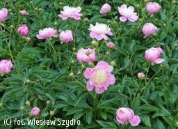 piwonia 'Bowl of Beauty' - Paeonia 'Bowl of Beauty'