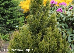 żywotnik olbrzymi 'Copper Gold' - Thuja plicata 'Copper Gold'