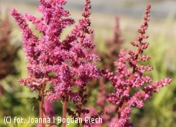 tawuła chińska 'Vision in Pink' - Astilbe chinensis 'Visions in Pink' PBR