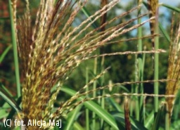 miskant chiński 'Second Wind' - Miscanthus sinensis 'Second Wind'