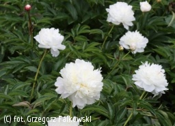 piwonia 'Shirley Temple' - Paeonia 'Shirley Temple'