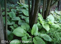 funkia 'Sum and Substance' - Hosta 'Sum and Substance'