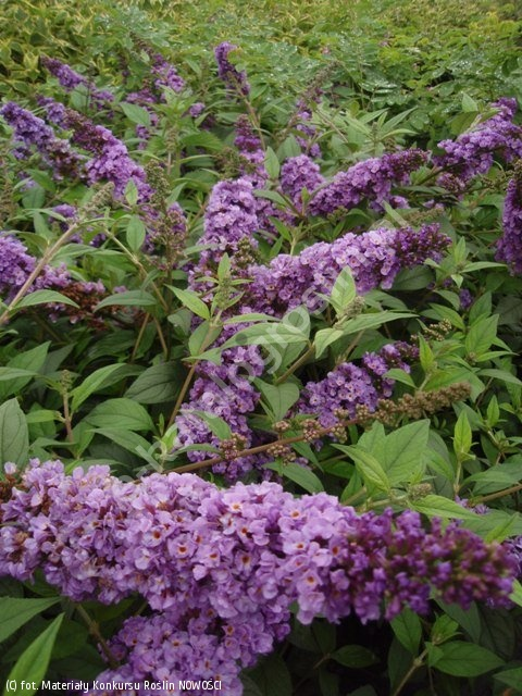 buddleja LO and BEHOLD 'Blue Chip' - Buddleja LO and BEHOLD 'Blue Chip' PBR