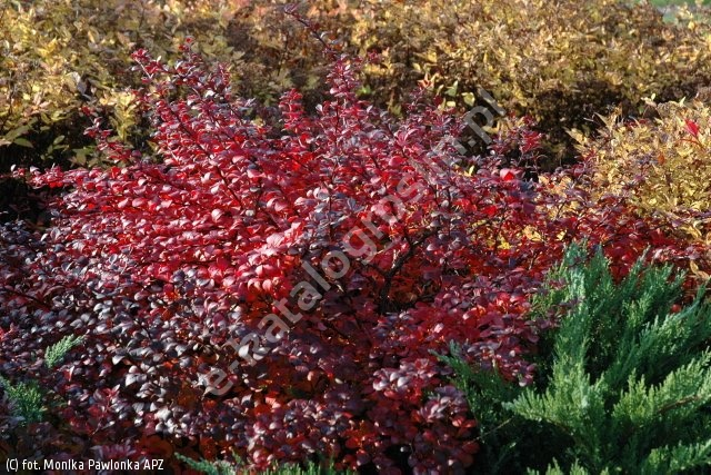 berberys Thunberga 'Red Chief' - Berberis thunbergii 'Red Chief'
