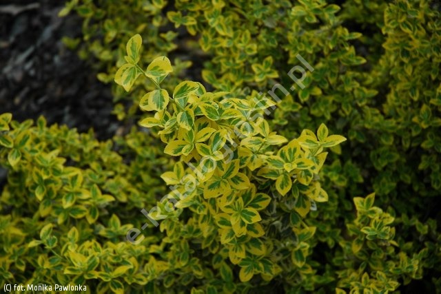 trzmielina Fortune'a 'Emerald 'n' Gold' - Euonymus fortunei 'Emerald 'n' Gold'