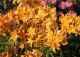 azalia 'Golden Lights' - Rhododendron 'Golden Lights'