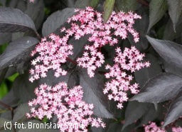 bez czarny BLACK BEAUTY 'Gerda' - Sambucus nigra BLACK BEAUTY 'Gerda' PBR