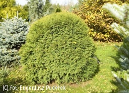 żywotnik zachodni 'Woodwardii' - Thuja occidentalis 'Woodwardii'