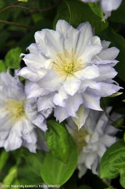 powojnik 'Diamond Ball' - Clematis 'Diamond Ball' PBR