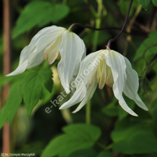 powojnik 'Lemon Beauty' - Clematis 'Lemon Beauty' PBR