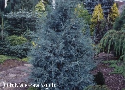 jałowiec skalny 'Blue Heaven' - Juniperus scopulorum 'Blue Heaven'