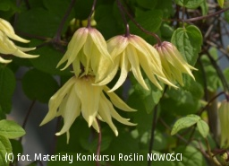 powojnik 'Golden Dream' - Clematis 'Golden Dream'
