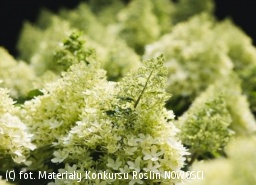hortensja bukietowa LIVING ROYAL FLOWER 'LC NO6' - Hydrangea paniculata LIVING ROYAL FLOWER 'LC NO6'