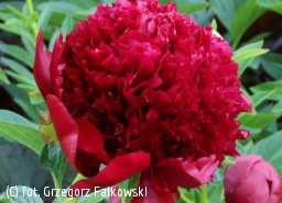 piwonia 'Red Charm' - Paeonia 'Red Charm'